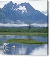 Trumpeter Swan Cygnus Buccinator Pair Canvas Print