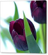 Tulip Flowers (tulipa Sp.) Canvas Print