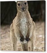 Western Grey Kangaroo Canvas Print