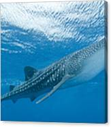 Whale Shark, Ari And Male Atoll Canvas Print