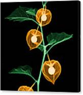 X-ray Of Chinese Lantern Plant Canvas Print