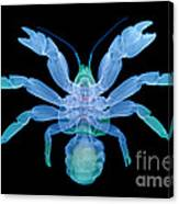 X-ray Of Coconut Crab Canvas Print