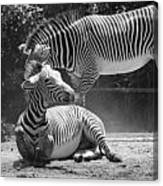 Zebras In Black And White Canvas Print