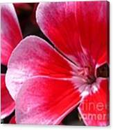 Zonal Geranium Named Candy Fantasy Kiss Canvas Print