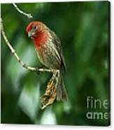 House Finch Canvas Print