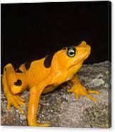 Harlequin Toad Canvas Print