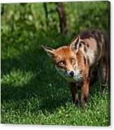 A British Red Fox Canvas Print