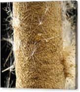 A Cattail Typha Latifolia Disperses Canvas Print