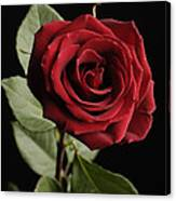 A Red Rose Rosaceae Canvas Print