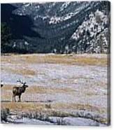 American Elk Cervus Elaphus Nelsoni Canvas Print
