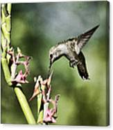 Anna's Hummingbird  Canvas Print