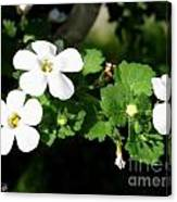 Bacopa Named Snowtopia Canvas Print