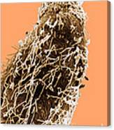 Bacteria On Sorghum Root Tip Canvas Print