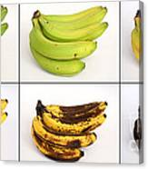 Banana Ripening Sequence Canvas Print