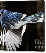 Blue Jay In Flight Canvas Print