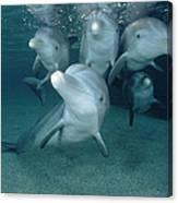 Bottlenose Dolphin Underwater Pair Canvas Print