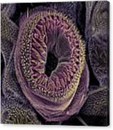 Caterpillar Foot, Sem Canvas Print