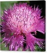 Centaurea From The Sweet Sultan Mix Canvas Print