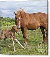 Chestnut Icelandic Horse With Newborn Foal Canvas Print