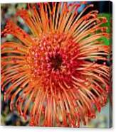 Common Pincushion Protea Canvas Print