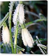 Common Snowdrops (galanthus Nivalis) Canvas Print