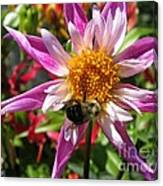 Dahlia Named Lorona Dawn Canvas Print