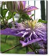 Double Clematis Named Crystal Fountain Canvas Print