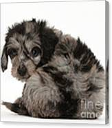 Doxie-doodle Puppy Canvas Print