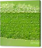 Drops In Leaf Canvas Print