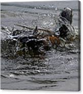 Duck Bath Canvas Print