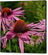 Eastern Purple Coneflower Canvas Print