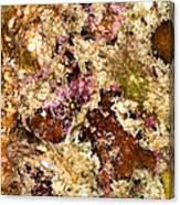 Frogfish Canvas Print