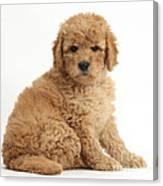 Goldendoodle Puppy Canvas Print