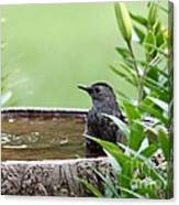 Gray Catbird Canvas Print