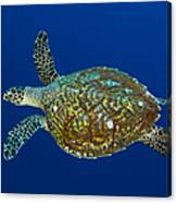Hawksbill Sea Turtle, Kimbe Bay, Papua Canvas Print