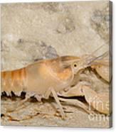 Miami Cave Crayfish Canvas Print
