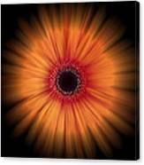 Orange Gerbera Daisy On Black Canvas Print