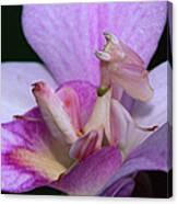 Orchid Mantis Hymenopus Coronatus Canvas Print