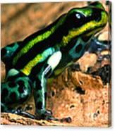Pasco Poison Frog Canvas Print
