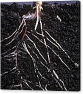 Plant Roots Canvas Print