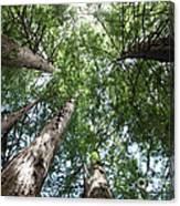 Redwoods Sequoia Sempervirens Canvas Print