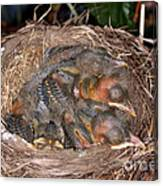 Robin Nestlings Canvas Print