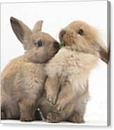 Sandy Rabbits Sharing Grass Canvas Print