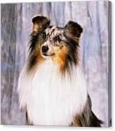 Shetland Sheepdog Portrait Of A Dog Canvas Print