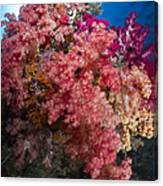 Soft Coral In Raja Ampat, Indonesia Canvas Print