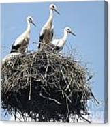 3 Storks In The Nest. Lithuania Canvas Print