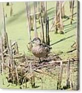 Teal Duck Canvas Print