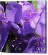 Tradescantia Named Andersonia Mauve Canvas Print