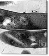 Tuberculosis Bacteria Canvas Print