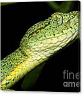 Two Striped Forest Pit Viper Canvas Print